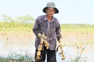 Nông dân hụt hẫng khi tham gia mô hình trồng sen trên đất lúa