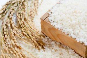 Trúng thầu xuất sang Hàn Quốc, gạo Japonica lên ngôi