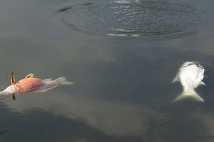 Công nhân môi trường quây lưới vớt cá chết ở hồ Hoàng Cầu