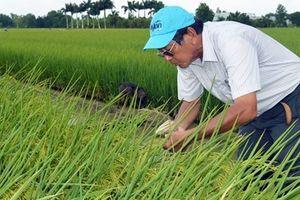 Kỹ sư Hồ Quang Cua: Người đưa gạo Việt vang danh thế giới