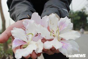 Chiêm ngưỡng hoa ban Tây Bắc nhuộm trắng con đường ven đô Hà Nội