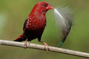 Khám phá loài chim có màu đỏ rực như máu ở Việt Nam