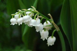 Điều bất ngờ về hoa linh lan thơm nhất thế giới