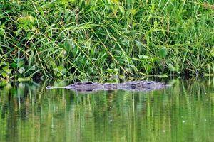 Mục sở thị 'cá sấu chúa' tại Vườn quốc gia Nam Cát Tiên
