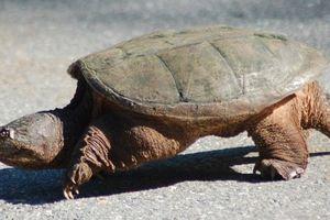 Kỳ dị loài rùa bị đứt đầu vẫn sống 'nhăn răng'...
