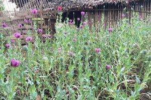 Hà Giang: Tiếp tục triệt phá 350 cây thuốc phiện