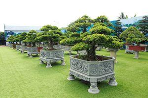 Ngắm vườn nguyêt quế 'độc nhất vô nhị' của đại gia Thái Nguyên