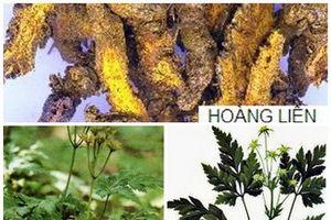 Những cây thuốc chứa hợp chất berberin trị các bệnh đường ruột