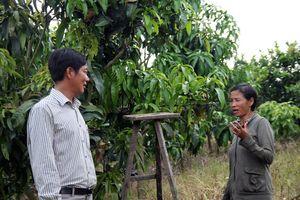 Trồng xoài Đài Loan cho trái khủng, lãi gấp 2,5 lần so với cà phê?