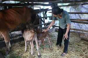 Hy hữu bò sinh cặp bê con hiếm gặp ở Quảng Nam