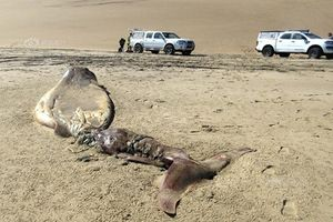 Kỳ dị xác sinh vật đầu cá heo đuôi cá voi xuất hiện