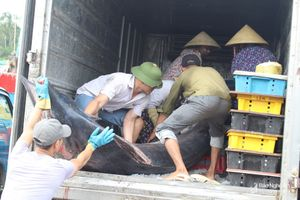 Ngư dân Nghệ An bắt được cá kìm cờ nặng 2,5 tạ