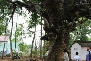 Chuyện ly kỳ quanh 'thần' cây dầu rái gần 800 tuổi mọc ngược