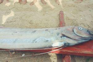 Liên tiếp 6 con cá hố rồng chết dạt vào bờ biển Quảng Bình