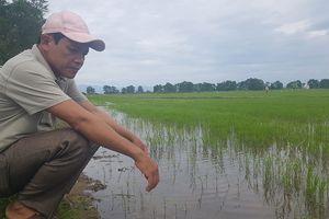 Nông dân khốn đốn vì lúa giống không nảy mầm