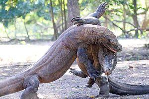 Clip: Hãi hùng cảnh rồng Komodo hạ sát đồng loại