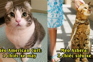 19 giống mèo đẹp và đắt tiền nhất trên thế giới, Boss cuối cùng có giá bằng cả gia tài