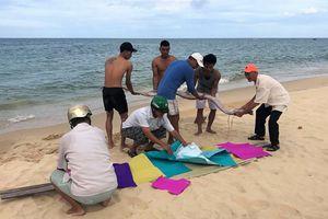 Cá mái chèo chết tiếp tục dạt vào bờ biển Quảng Bình