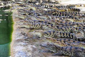 'Đột kích' trang trại cá sấu triệu USD ở Đồng Nai