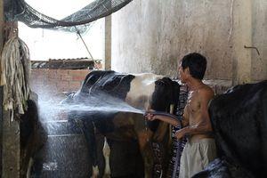 Giá sữa còn 7.000 đồng/kg, nông dân Củ Chi bán bò lỗ hàng chục triệu
