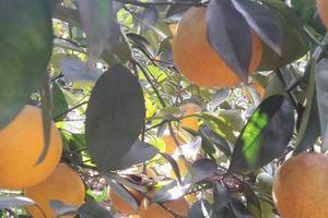 Lạ mà hay: Ghép mắt cam non lên gốc bưởi già, 1 cây cho 4 tạ quả