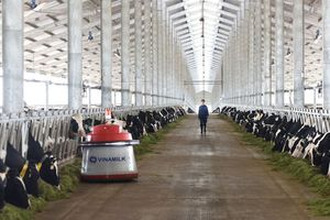 Những cô bò khỏe mạnh trong trang trại tại New Zealand đang được lựa chọn bởi đoàn chuyên gia