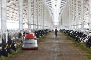Vinamilk nhập 200 bò sữa A2 từ New Zealand bằng máy bay