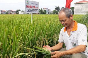 Trồng lúa Thái Bắc 1798 cầm chắc lợi nhuận