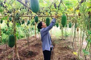 Trồng giống bí xanh thơm từ thân, lá đến quả, 1ha thu 200 triệu