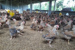 Nhiều chủ trại trắng tay vì ham giống gà nhập lậu giá rẻ