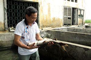 Sản xuất thành công cá chiên quý hiếm trong điều kiện nhân tạo