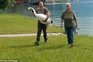 Cặp đôi thiên nga đồng tính bị 'trục xuất' khỏi hồ vì...