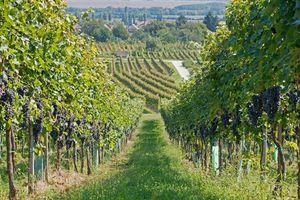 Hồi kết thê thảm Trung Quốc thâu tóm rượu vang Bordeaux