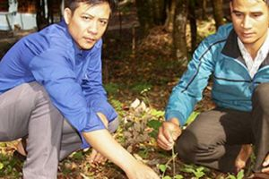 Rủ nhau thả sâm trong rừng, kiếm bộn tiền