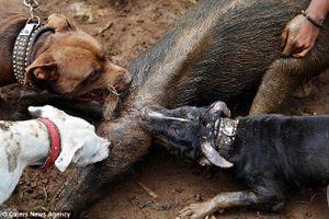 Clip: Chó pitbull tử chiến lợn rừng man rợ ở Indonesia
