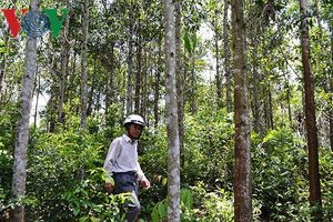 Công nhân lâm trường lấn chiếm đất rừng ở Quảng Trị