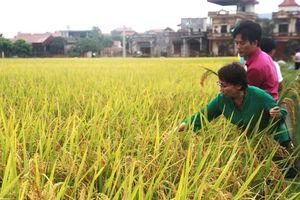 Bổ sung 2 giống lúa vào cơ cấu sản xuất vụ Xuân 2019
