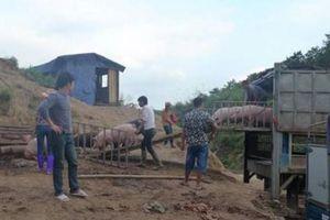 Giá heo hơi hôm nay 7/7: Chạm ngưỡng 53.000 đ/kg, lợn lậu Trung Quốc tràn vào Việt Nam