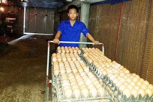 Thành công từ chăn nuôi gà đẻ trứng