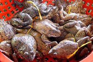 Người nông dân nuôi ếch mỗi năm thu 1 tỷ đồng