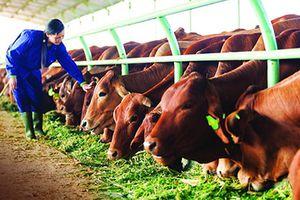 Triển vọng từ mô hình chăn nuôi bò thịt ứng dụng công nghệ cao