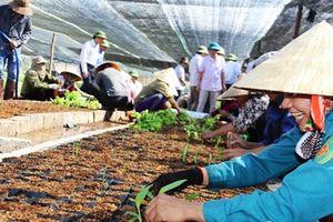Nóng vấn đề đổi trồng cỏ sang trồng chuối ở dự án bò Bình Hà?