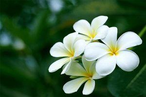 Những bài thuốc chữa bệnh cực hay từ hoa đại