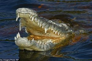 Rùng mình những lần cá sấu cắn xé người ăn thịt