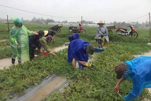 Nghệ An: Thanh niên Nghi Lộc giúp dân thu hoạch dưa hấu trước bão số 3