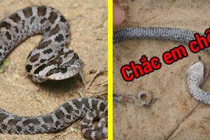 Cười đau bụng với màn quằn quại giả chết của chú rắn nhỏ