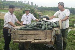 Nông dân trồng bí xanh cho thu lãi 100 triệu đồng mỗi ha