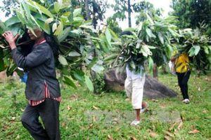 Quảng Ngãi phát triển cây trồng bản địa ở những huyện vùng cao