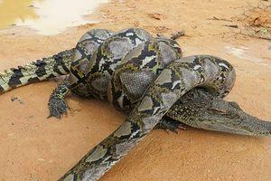 Cá sấu vật lộn trong cú siết đáng gờm của trăn khổng lồ
