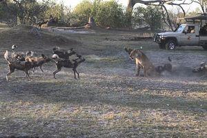 Mẹ sư tử để mặc bầy chó hoang cắn xé, đánh lạc hướng giúp sư tử con chạy thoát